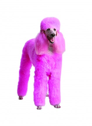 georgia pink poodle