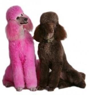 georgia and momo - christine's poodles